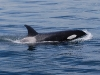 san-juan-islands-killer-whale-close-up