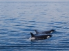 san-juan-islands-pair-of-orcas-spray-water