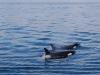 san-juan-islands-pair-of-orcas-spray-water