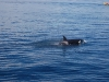 san-juan-islands-single-orca-heads-away