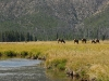 yellowstone-elk-graze