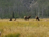yellowstone-elk-notice-our-presence
