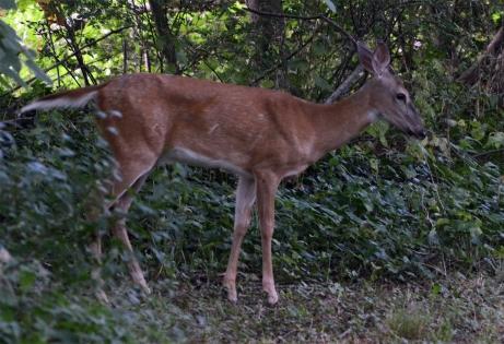 deer-sample
