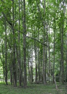 tall-thin-trees