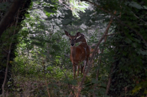 two-deer-in-the-backyard