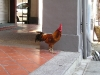 Rooster Freely Roams the Streets of Singapore