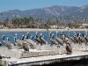 santa-barbara-harbor-pelicans-from-the-front