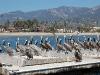 santa-barbara-harbor-pelicans-from-the-front