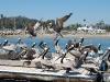 santa-barbara-harbor-pelicans-take-flight