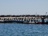 santa-barbara-harbor-pelicans