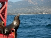 seal-gazes-towards-santa-barbara