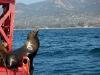 seal-gazes-towards-santa-barbara