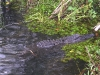 everglades-alligator-resting-in-the-muck-side-view