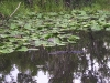 everglades-gator-swims-close-to-boat