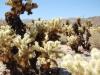 joshua-tree-brown-and-yellow-cactus