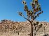 joshua-tree-the-joshua-tree-itself
