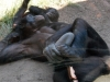 san-diego-zoo-adult-bonobo-with-baby-bonobo-sucking-its-thumb