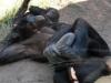 san-diego-zoo-adult-bonobo-with-baby-bonobo-sucking-its-thumb