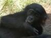 san-diego-zoo-baby-bonobo-sucks-its-thumb