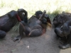 san-diego-zoo-four-bonobos-at-rest