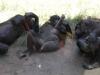 san-diego-zoo-four-bonobos-at-rest