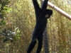 san-diego-zoo-hanging-monkey