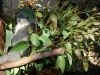 san-diego-zoo-koala-looks-sleepy
