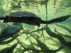 san-diego-zoo-long-necked-turtle-seen-edge-on