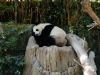 san-diego-zoo-panda-sleeps-in-tree