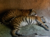 san-diego-zoo-tiger-finishes-licking-other-tiger