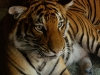 san-diego-zoo-tiger-looks-at-you