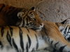 san-diego-zoo-tiger-sleeps-on-tiger