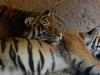 san-diego-zoo-tiger-sleeps-on-tiger