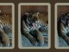 san-diego-zoo-tiger-yawn-triptych