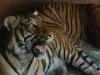 san-diego-zoo-tiger-yawns-2