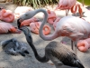 san-diego-zoo-adult-flamingo-feeds-baby-flamingo