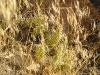 Dinosaur - Cacti in the Brush
