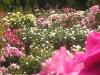 Portland Rose Garden - All Roses