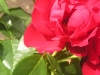Portland Rose Garden - Bee in Red Rose