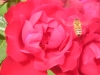 Portland Rose Garden - Bee Outside Red Rose