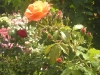 Portland Rose Garden - Gorgeous Orange Rose