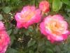 Portland Rose Garden - Neon Pink Roses
