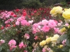 Portland Rose Garden - Yellow into Pink into Red Roses