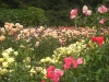 Portland Rose Garden - Yellow, Orange, and Red Roses