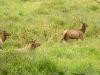 elk-pushing-their-harem