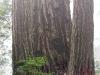 redwoods-cagg-and-karen-at-base-of-large-tree