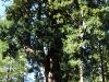 redwoods-driving-through-chandelier-tree